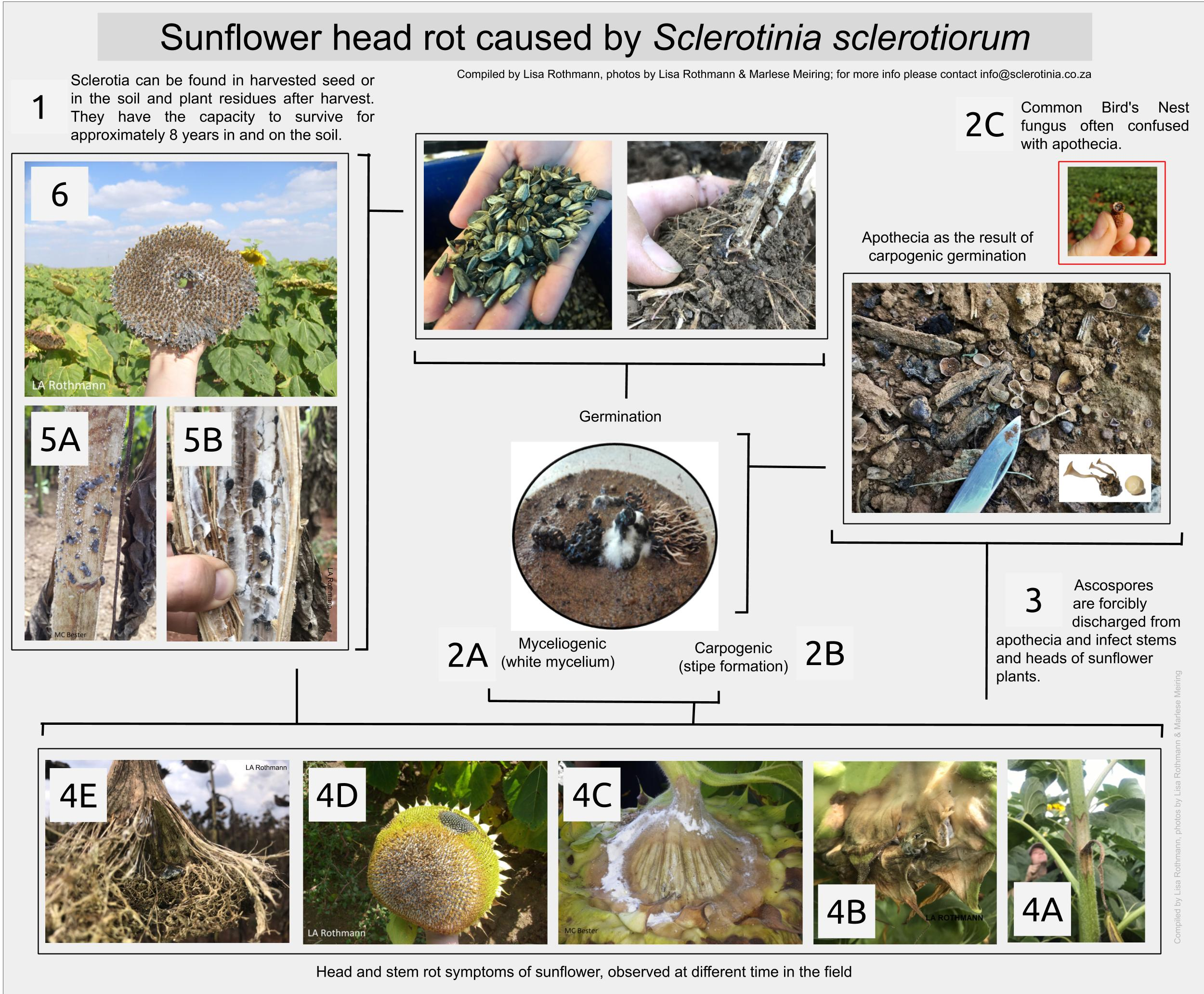 Sclerotinia sclerotiorum: An in field life cycle on sunflower.