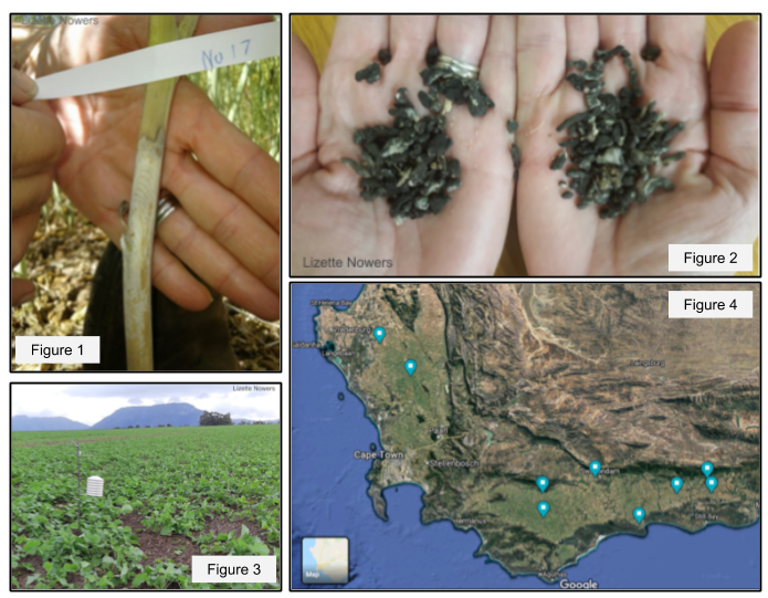 Monitoring of Sclerotinia Stem Rot of Canola in the Western Cape province of South Africa