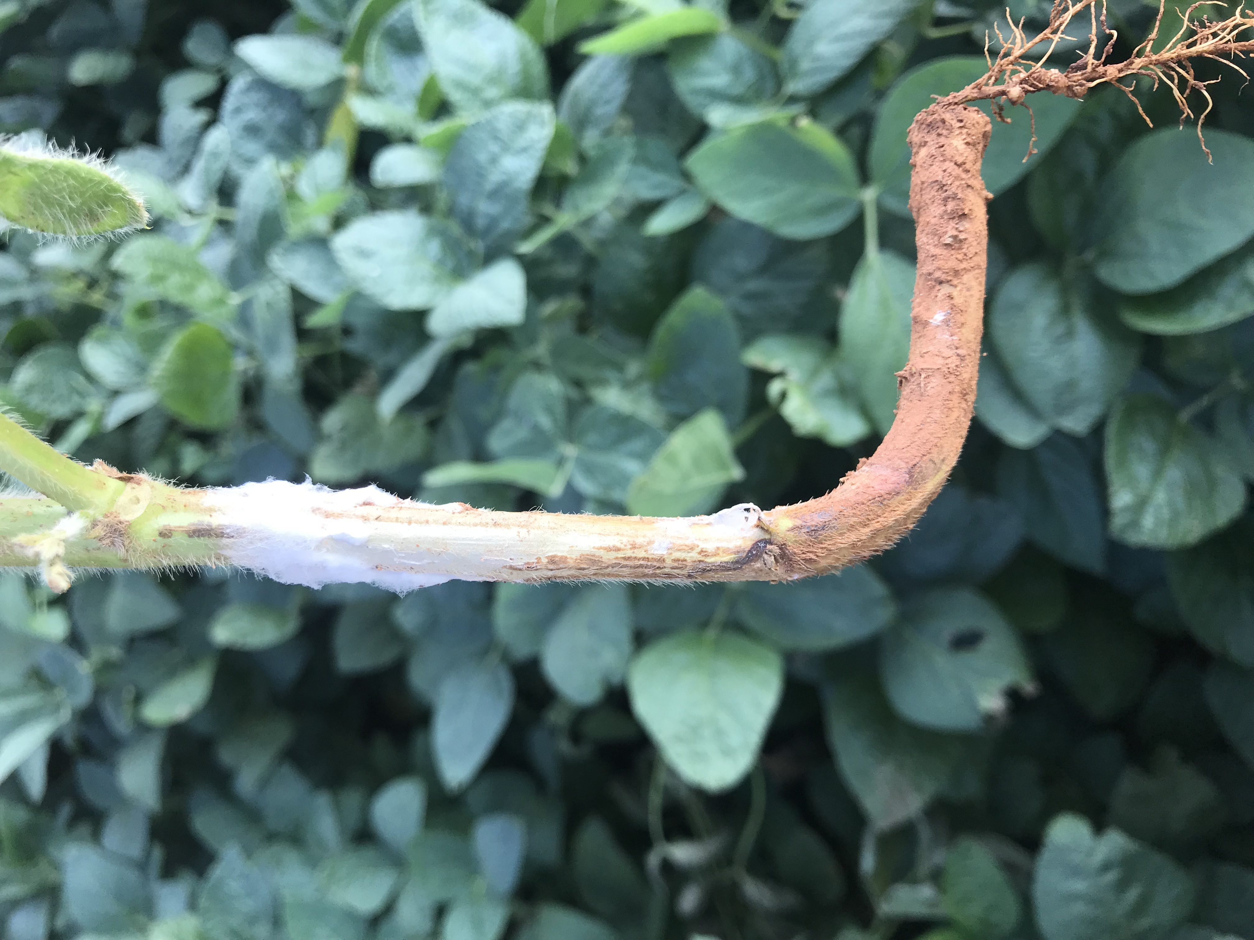 Management of Sclerotinia head and stem rot